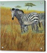 Cebras  In  Rhino  Park Acrylic Print
