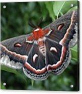 Cecropia Moth  Acrylic Print