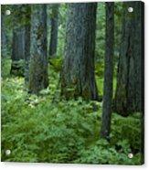 Cedar Grove Acrylic Print