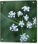 Cedar Park Texas Hedge Parsley Acrylic Print