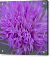 Cedar Park Texas Purple Thistle Acrylic Print