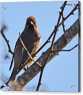 Cedar Wax Wing On The Lookout Acrylic Print