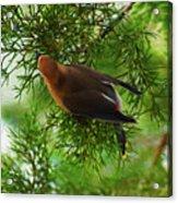 Cedar Waxwing Beauties 1 Acrylic Print
