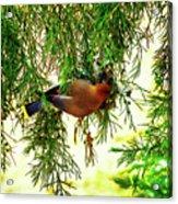 Cedar Waxwing Beauties 19 Acrylic Print