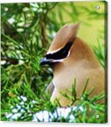 Cedar Waxwing Beauties 6 Acrylic Print