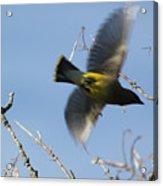 Cedar Waxwing In Flight Acrylic Print