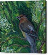 Cedar Waxwing In Lilac Acrylic Print