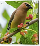 Cedar Waxwing With Mulberries Acrylic Print