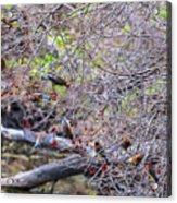Cedar Waxwings Feeding 2 Acrylic Print