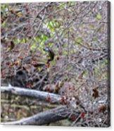 Cedar Waxwings Feeding Acrylic Print