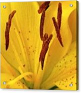 Center Of A Lily Acrylic Print