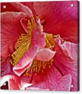 Center Of A Pink Camellia At Pilgrim Place In Claremont-california  Acrylic Print