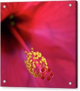 Center Of Attention - Hibiscus 01 Acrylic Print