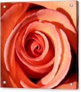Center Of The Peach Rose Acrylic Print