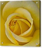 Centered Beautiful Yellow Rose Acrylic Print