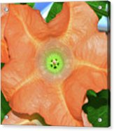 Centerpiece - Angel Trumpet 005 Acrylic Print