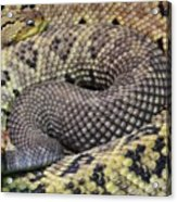 Central American Rattlesnakee Acrylic Print