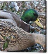 Central Park Ducks Acrylic Print