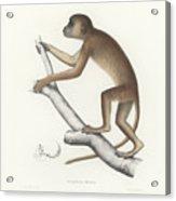 Central Yellow Baboon, Papio C. Cynocephalus Acrylic Print