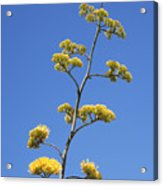 Century Plant Flowers Acrylic Print