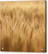 Cereal Field Acrylic Print