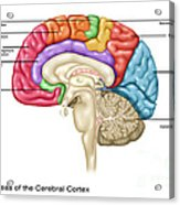 Cerebral Cortex Areas, Illustration Acrylic Print