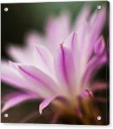 Cereus Glow Acrylic Print