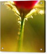 Cha Cha Cha Tulip Acrylic Print
