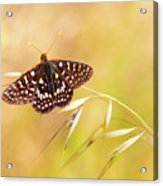 Chalcedon Butterfly Acrylic Print