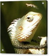 Chameleon Up-close 1 Acrylic Print
