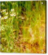 Chamomile In The Sunny Meadow Acrylic Print