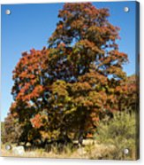 Changing Maple Colors Acrylic Print