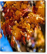 Changing Maples Acrylic Print