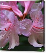 Chapmans Rhododendron Acrylic Print