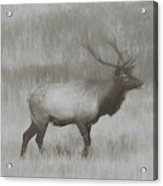 Charcoal Bull Elk In Field Acrylic Print