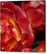 Charisma Roses 2 Acrylic Print