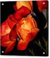 Charisma Roses 4 Acrylic Print