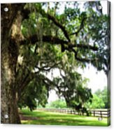 Charleston Oaks 5 Acrylic Print