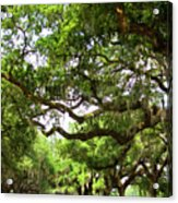 Charleston Oaks 8 Acrylic Print