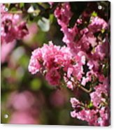 Chateau Rose Pink Flowering Crepe Myrtle  Acrylic Print