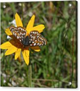 Checkerspot On Bahai Aster 1 Acrylic Print