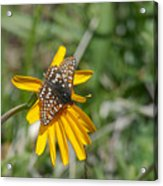 Checkerspot On Bahai Aster 3 Acrylic Print