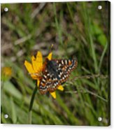 Checkerspot On Bahai Aster 4 Acrylic Print