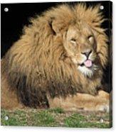 Cheeky Lion Acrylic Print
