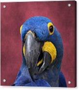 Cheeky Macaw Acrylic Print