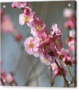 Cheerful Cherry Blossoms Acrylic Print