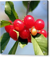 Cheery Cherries Acrylic Print