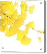 Cheery Ginkgo  Acrylic Print