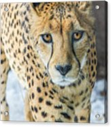 Cheeta Up Close Acrylic Print