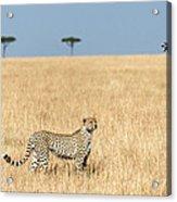 Cheetah Acinonyx Jubatus In Plains Acrylic Print